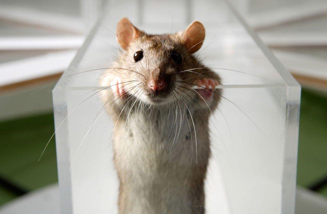 rat11-e1427359760971