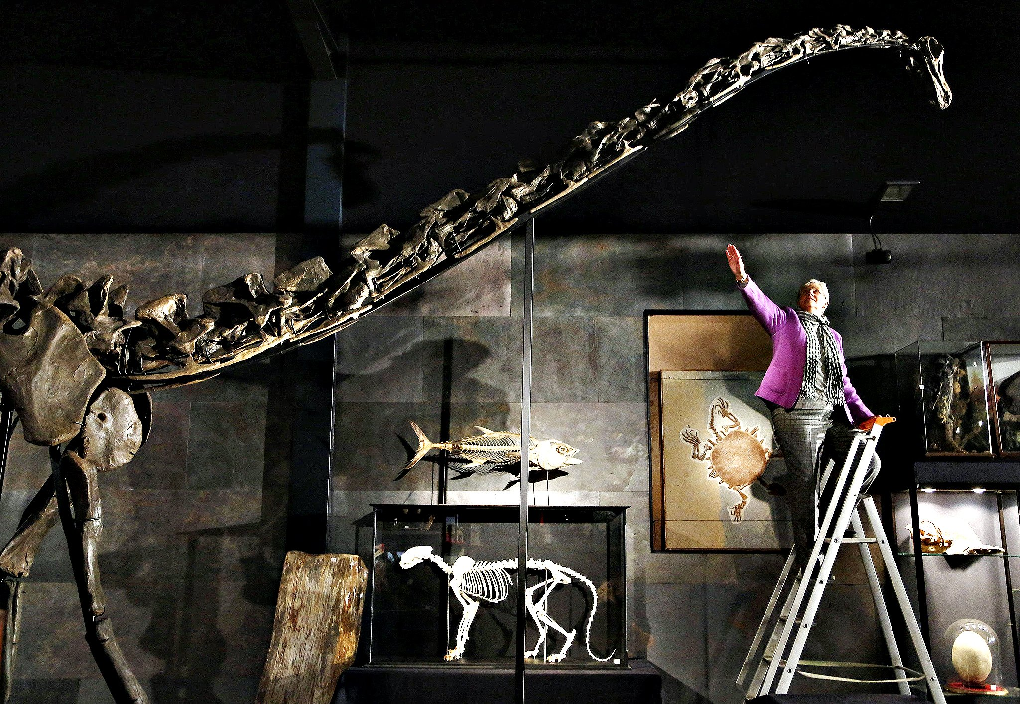 "Employee Julia Thomas poses with a diplodocus skeleton named ""Mi"