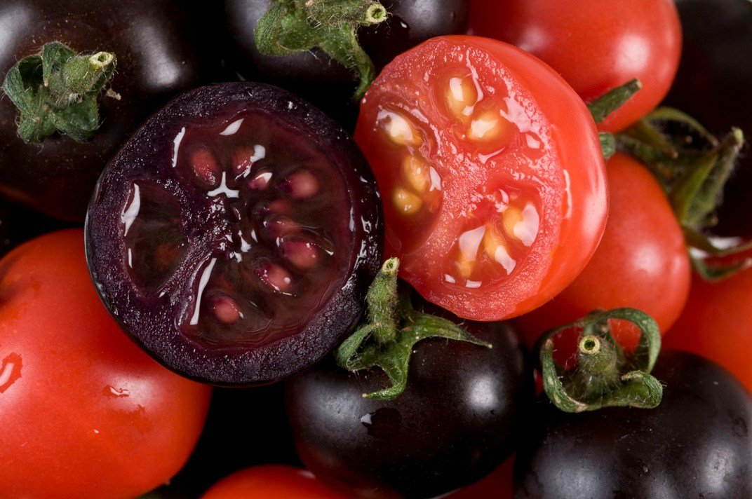 """NORWICH, UNITED KINGDOM - OCTOBER 27:  In this handout photo illustration provided by the John Innes Centre UK, purple tomatoes are seen on October 27, 2008 in Norwich, United Kingdom. Scientists from the John Innes Centre, UK have genetically engineered tomatoes to contain very high levels of the cancer-fighting antioxident """"anthocyanins"""", which as a result have turned the usually red fruit into a deep purple. (Photo by John Innes Centre UK via Getty Images)"""