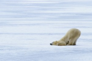 Funny-Polar-Bear