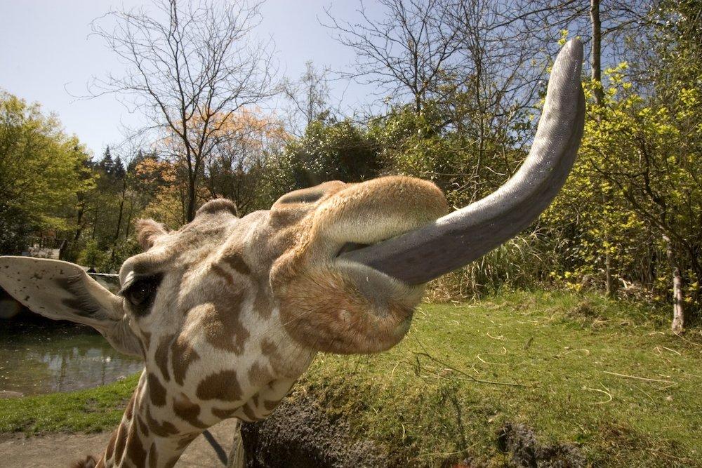 Giraffe Tongue Orchestra Mastodon Alice in Chains супергруппа группа Пит Гриффин Томас Приджен Брент Хайндс Бен Вейнман Уильям Дюваль музыка статьи отвратительные мужики