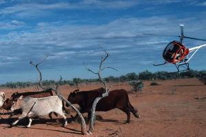 корова сбила вертолет австралия дичь новости отвратительные мужики disgusting men