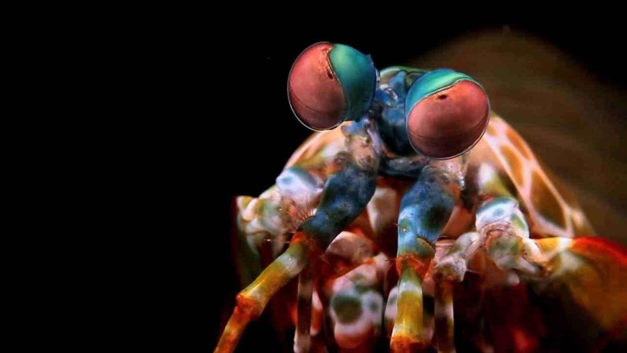 рак-богомол креветка-богомол самое странное животное подводный клоун оно отвратительные мужики disgusting men
