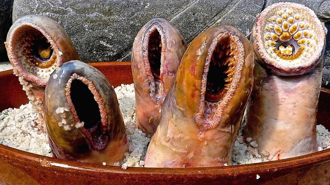 охерительные миноги минога подводная жизнь отвратительные мужики disgusting men
