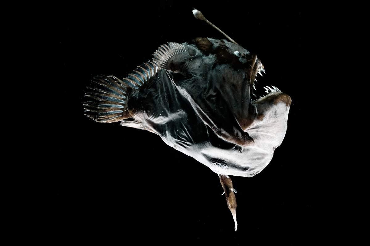 морской черт как спариваются морские черти спаривание отвратительные мужики disgusting men