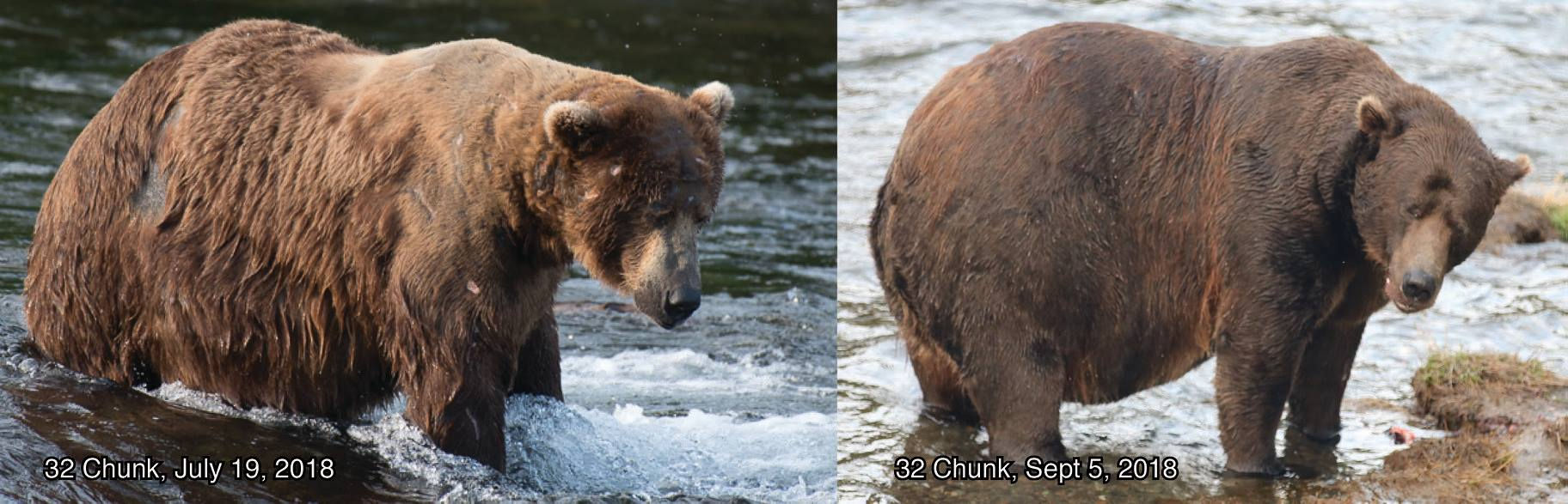 жирные медведи аляски самый жирный медведь фото отвратительные мужики disgusting men