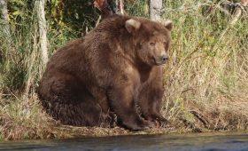 Эти жирные медведи из Аляски сделают ваш день