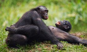 Гиперопека в природе — напористые мамы-бонобо помогают сыновьям искать сексуальных партнеров