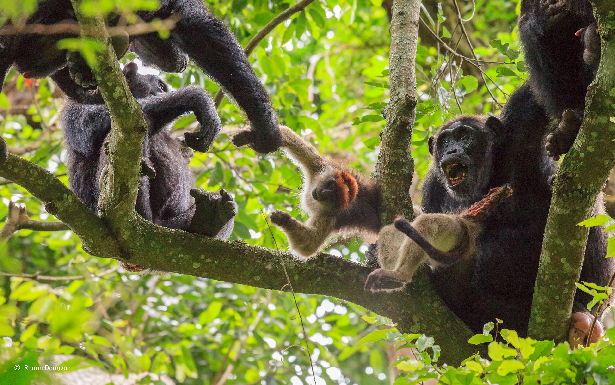 Шимпанзе поедают мелких обезьян.