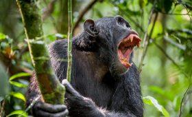 Максимально близко к восстанию обезьян: в Уганде шимпанзе объявили войну людям