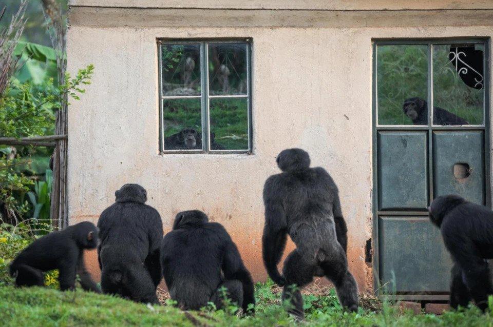 Шимпанзе смотрят в окна фермы, которую Нтегека Семата покинула вместе со своей семьей.