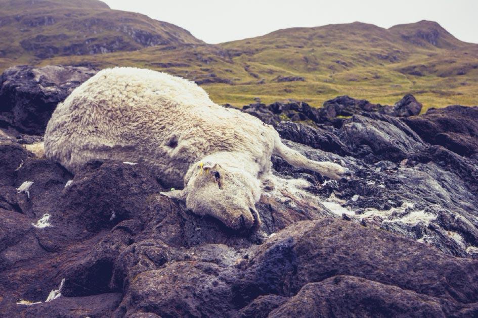 сатанисты британия убийство овец отвратительные мужики disgusting men