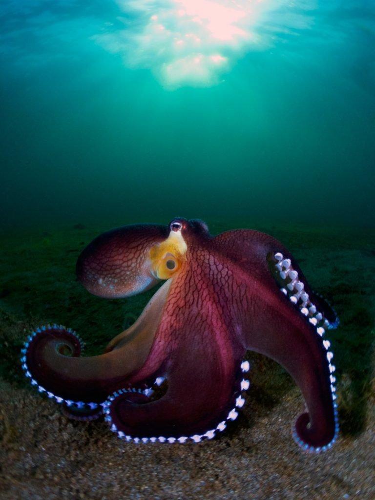 «Кокосовый осьминог», фотограф Enrico Somogyi