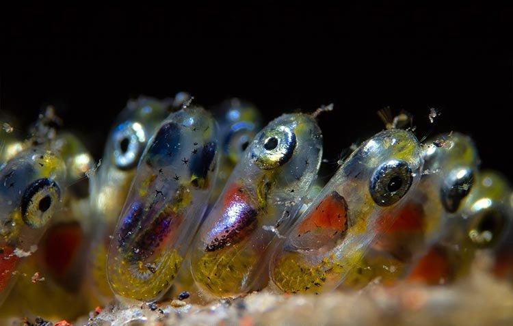 «Икра рыбы-клоуна», фотограф Paolo Isgro