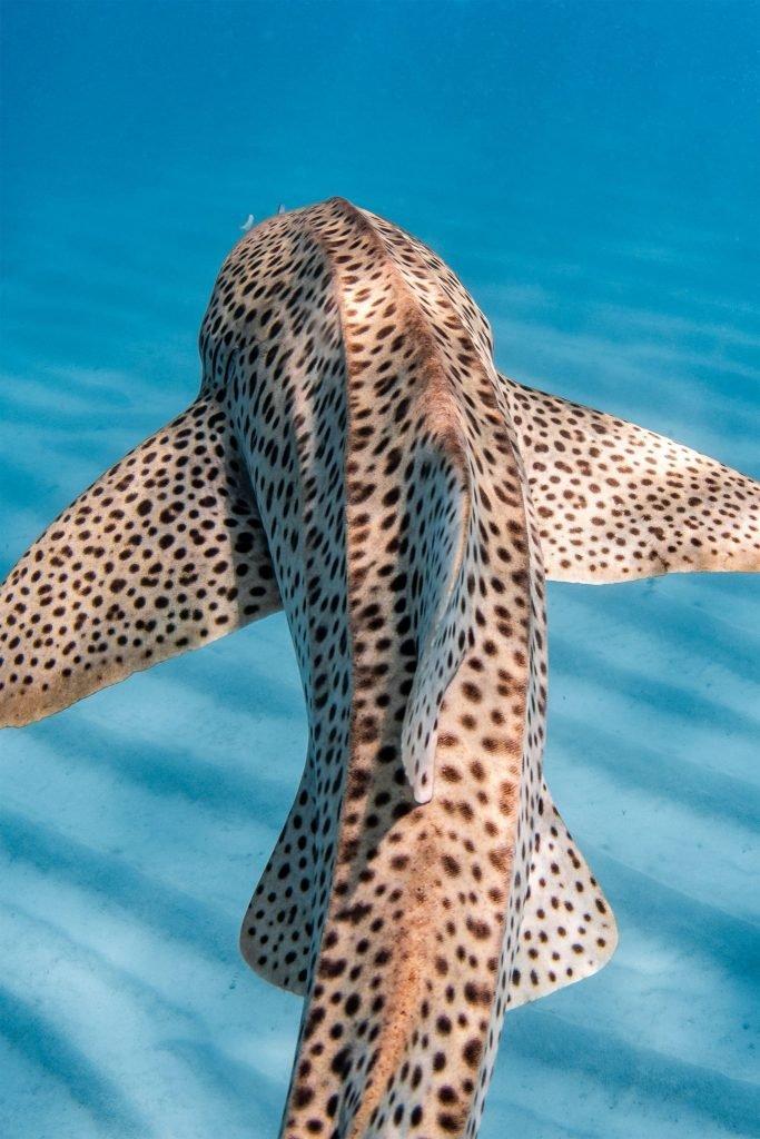 «Леопардовая акула», фотограф Jake Wilton