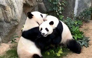 Панды из гонконгского зоопарка наконец-то занялись сексом. Это случилось благодаря карантину