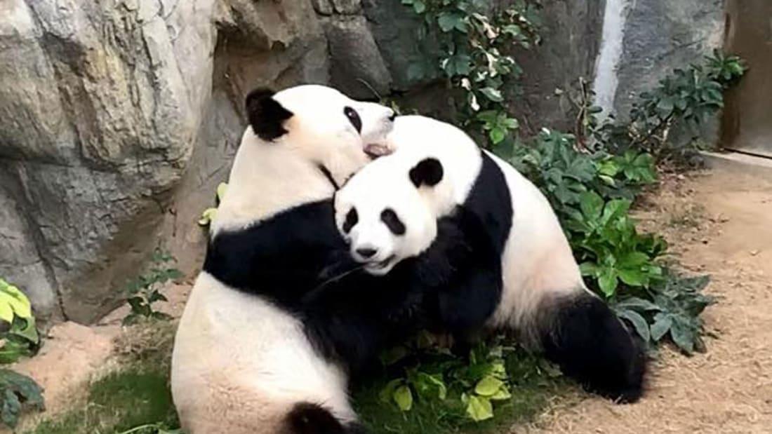 панды секс размножаются отвратительные мужики