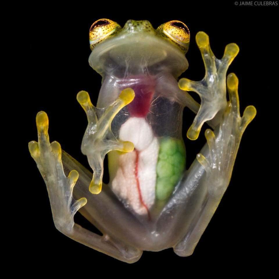 лягушонок кермит в реальной жизни