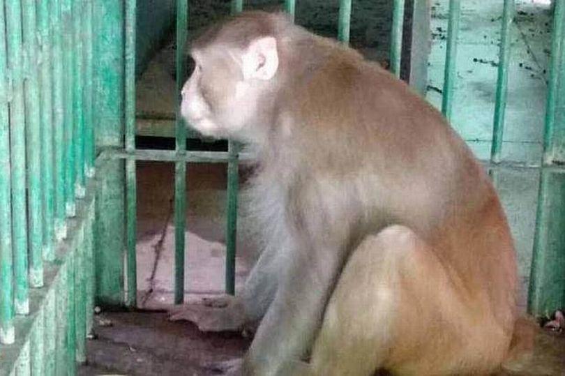 обезьяна убийца из индии