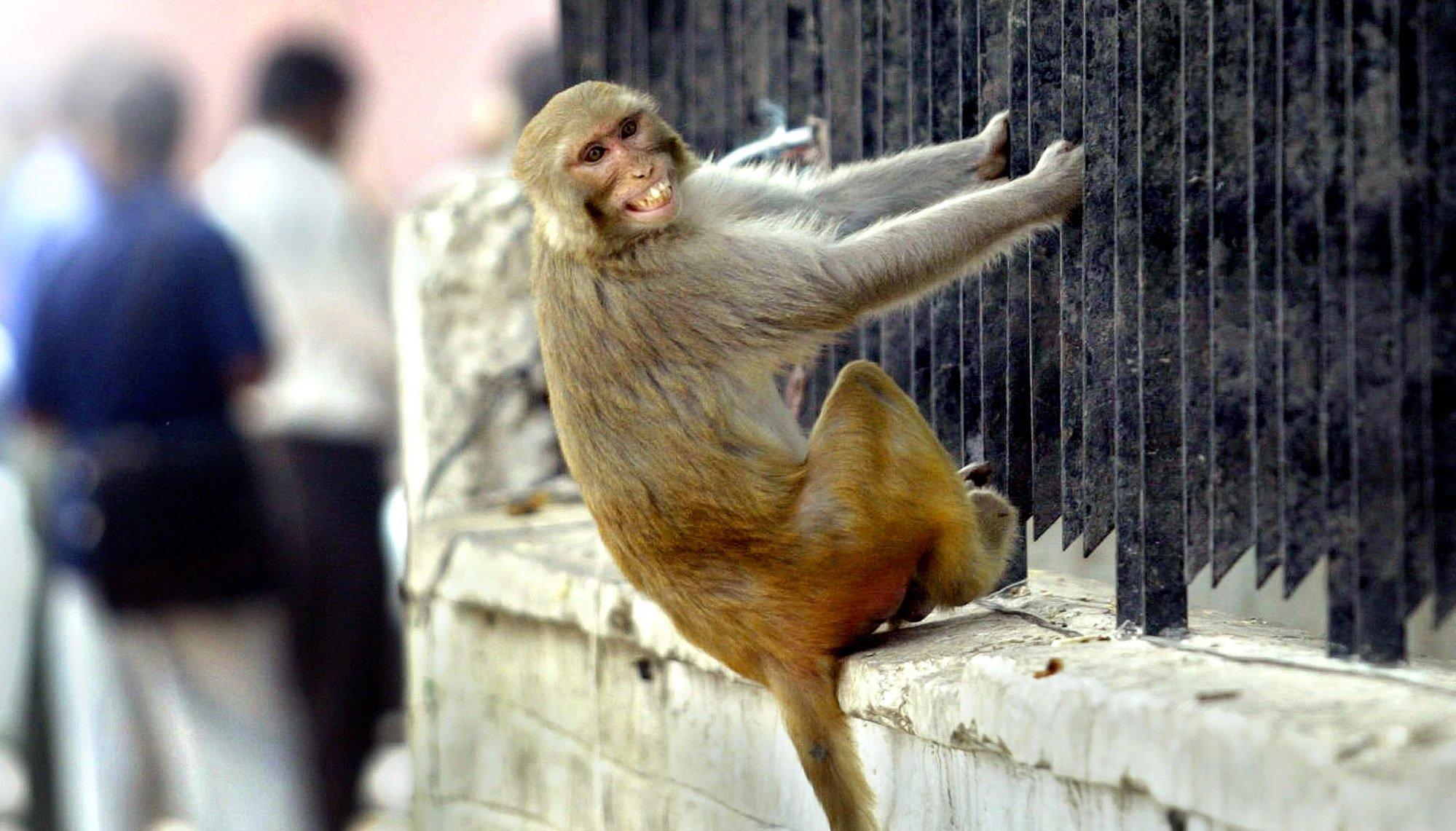 обезьяны covid понедельник начинается с дичи