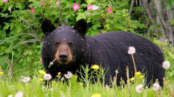 Видео дня: операция по спасению медведя с ведром на голове