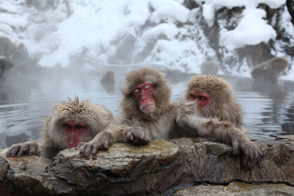 японские обезьяны отвратительные мужики