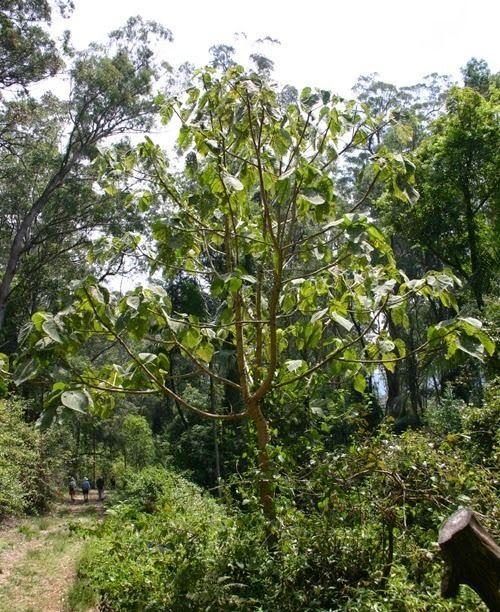 ядовитое дерево австралия отвратительные мужики