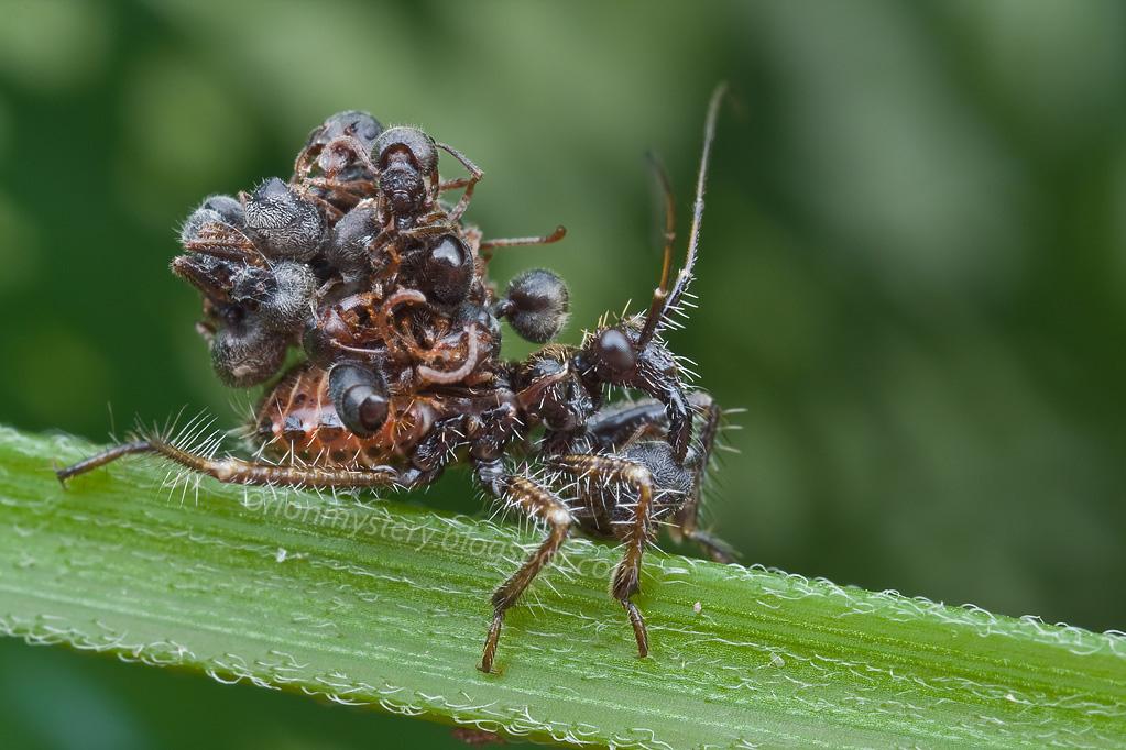 жук-убийца жуки ассасины отвратительные мужики disgusting men