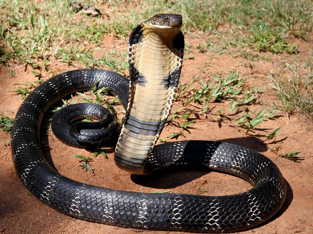 королевская кобра укус кобры