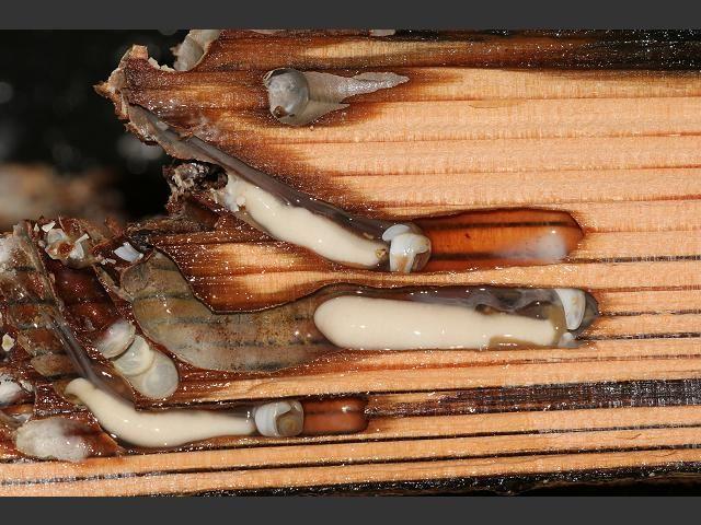 корабельные черви размножение моллюски секс