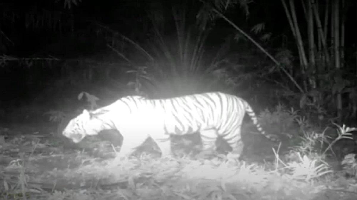суматранский тигр видео