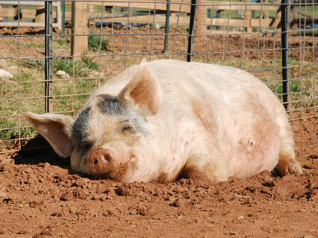 дыхание анусом свиньи