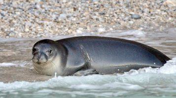 Греческая полиция разыскивает убийц знаменитого тюленя Костиса. За поимку виновных обещают 18 000 евро