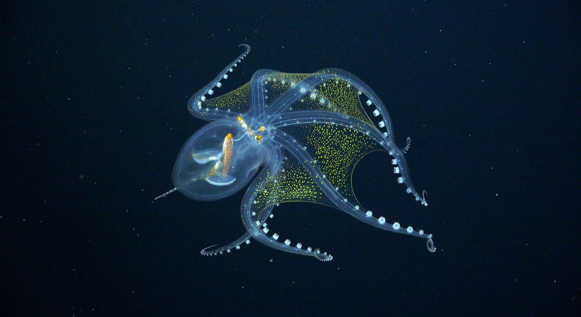прозрачный осьминог видео стеклянный осьминог