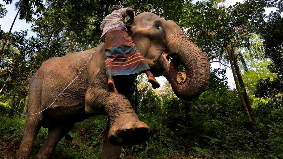 пьяное вождение слонов слоны шри-ланка