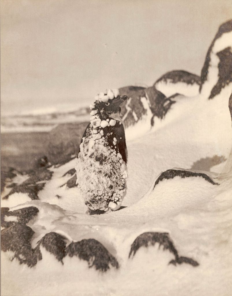 arctic expedition 18 803x1024 - Бравые «осси» во льдах: австралийская экспедиция в Антарктике 1911 года