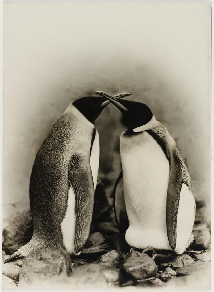 arctic expedition 25 753x1024 - Бравые «осси» во льдах: австралийская экспедиция в Антарктике 1911 года