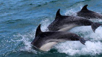 На Фарерах прошел самый массовый в истории забой дельфинов — за несколько часов убили 1428 особей