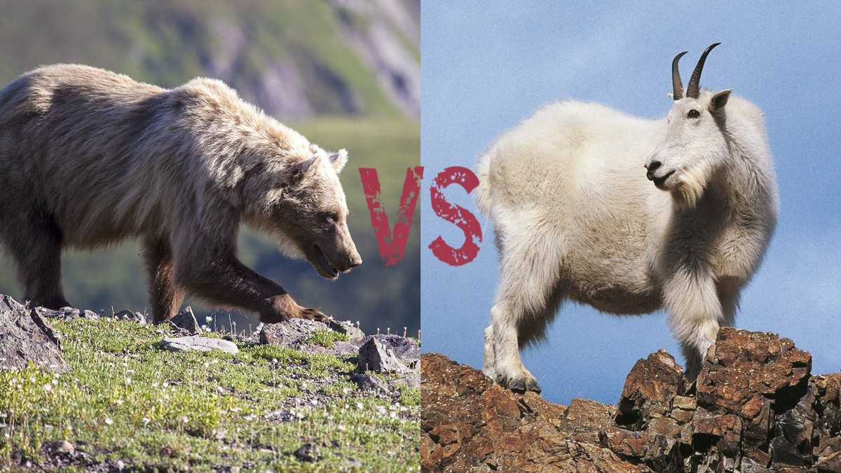 козел забодал медведя козел медведь