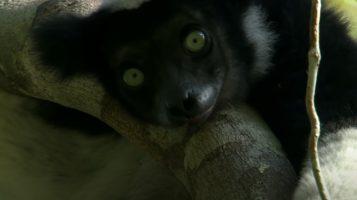Исследование: «поющие» приматы имеют схожее с человеком чувство ритма